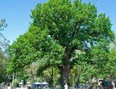 Два крымских дерева получили статус «Дерево – памятник живой природы»
