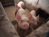 Россельхознадзор установил новые вспышки африканской чумы свиней в Крыму