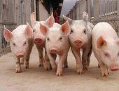 В Белогорском районе Крыма снова можно содержать и разводить свиней