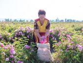 «Крымская Роза» собрала 50 тонн лепестков роз для производства натуральной косметики