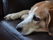 Источником новых пандемий гриппа могут стать собаки