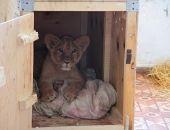 Госкомветеринарии Крыма выявил факт негуманного отношения к детенышу льва в парке львов «Тайган»