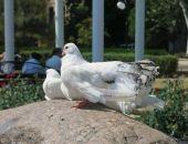 На набережной орудуют наглые «голубятники»