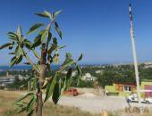 В Феодосии засыхает миндальная аллея «Мир и Согласие»:фоторепортаж