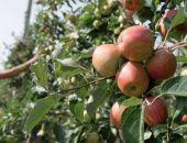В Крыму выкорчуют 62 гектара старых яблоневых садов