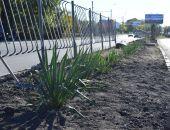 В столице Крыма высадили 130 кустов юкки (фото)