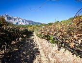 В Крыму начался сбор урожая хурмы и киви (фото)