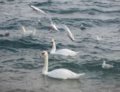 В Феодосию прилетели первые лебеди (видео):фоторепортаж