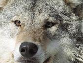 В Крыму зафиксировано несколько нападений волков на фермы, в 2019 году отстрел хищника продолжат