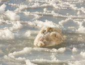 В Крыму лебедь оказался в ледяной ловушке
