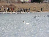 В Крыму из ледяного плена спасли лебедя