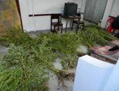 В Приморском обнаружили 150 кустов конопли