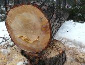 В Севастопольских скверах пилят деревья на дрова