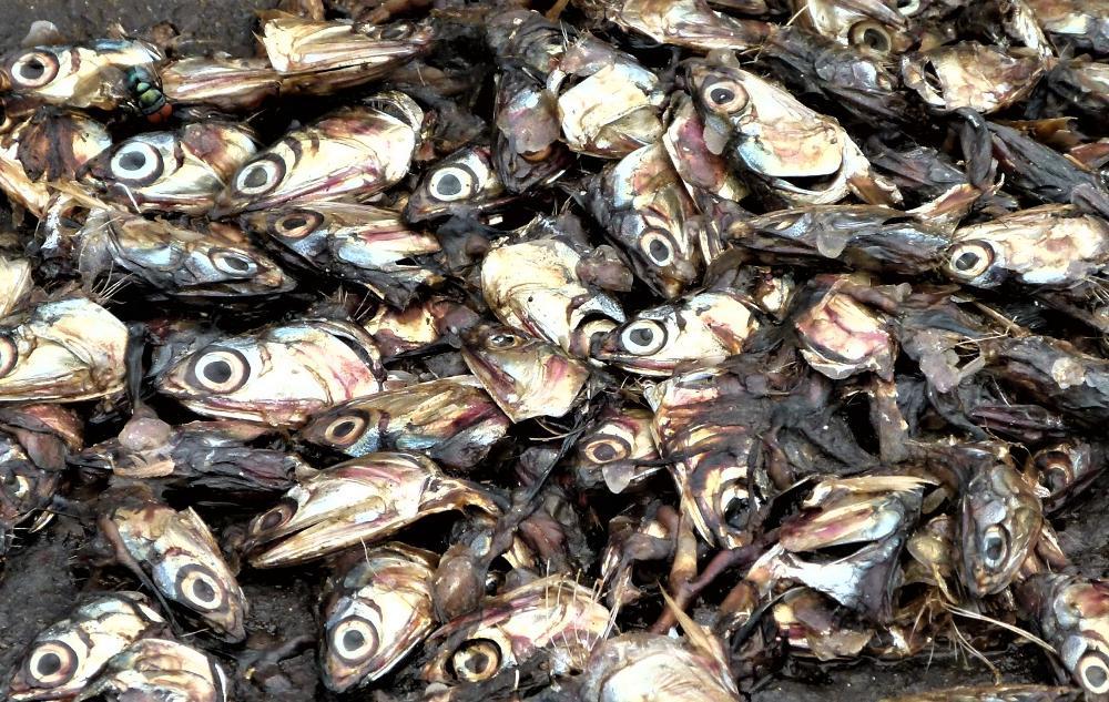 Отходы от рыб в картинках