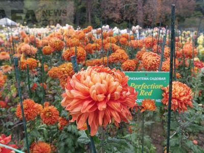 Бал хризантем проходит в Никитском ботаническом саду