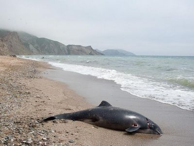 In Crimea, dolphins again jumped ashore, one managed to save